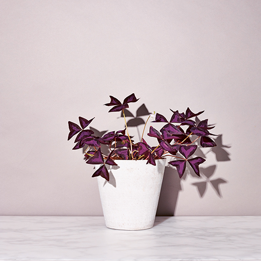 Oxalis Triangularis, False Shamrock, the little book of house plants by emma sibley