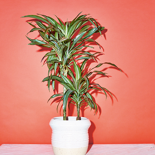 Dracaena Marginata, Flaming Dragon Tree, the little book of house plants by emma sibley