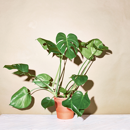 Monstera Delicosa, Swiss Cheese Plant, the little book of house plants by emma sibley