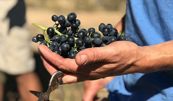 Red grapes in winemaker's hand