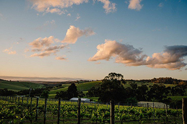 Rising Vineyard in the Yarra Valley of Victoria