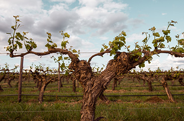 Gnarled old 1927 vines at Tahbilk