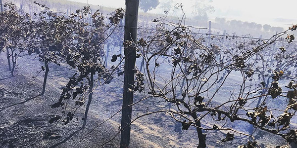 Vines burnt by fire in the Clare Valley of South Australia