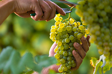 Hands cutting white grapes from vine