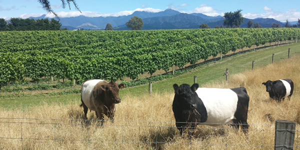Cows grazing in front of a vineyard