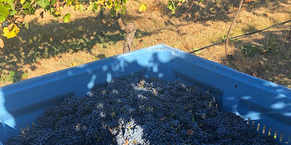 Bin of red wine grapes