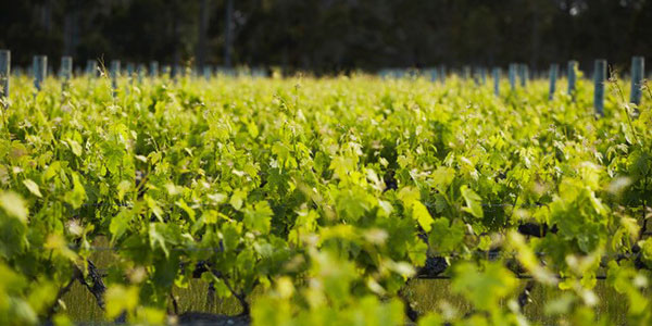 Sauvignon blanc vines in Margaret River