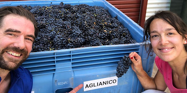 Bucket of aglianico grapes