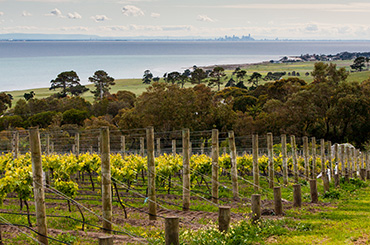 Geelong vineyard by the sea