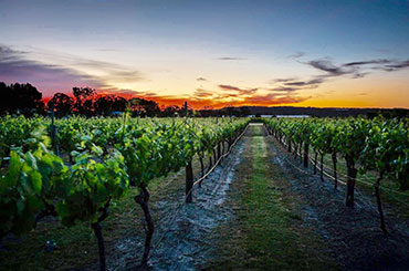 Summit Estate vineyard at sunset