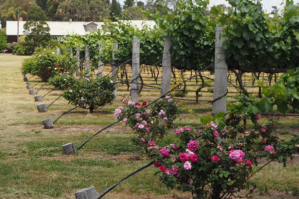 Rose bushes at the ends of the vine rows at Heritage Estate