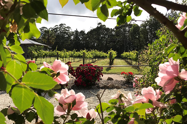 Looking through the flowers to the vines at Summit Estate winery