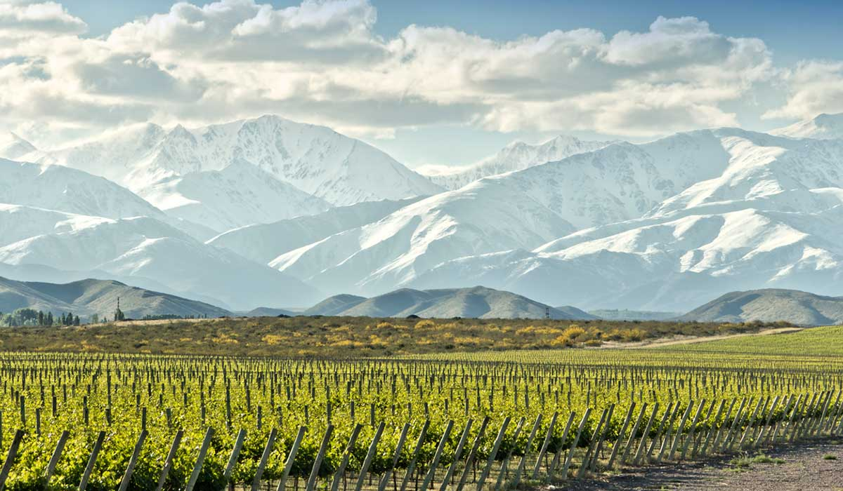 A vineyard in Argentina, with the snowy Andes in the background