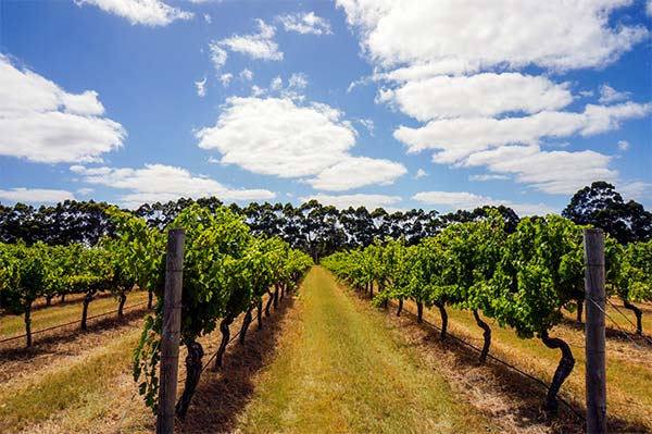 Redbrook Vineyard, Evans and Tate vineyard - On Tour with Halliday - Margaret River