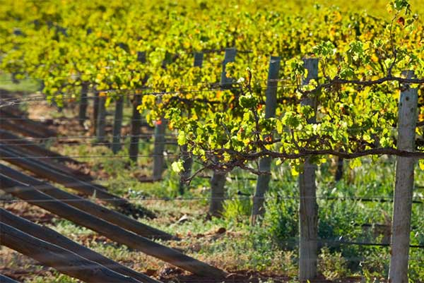 McLaren Vale - Angove Family Winemakers vineyard