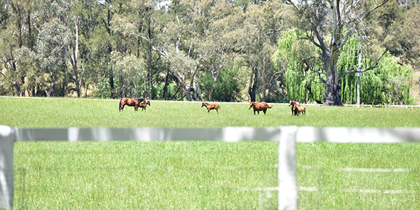 Paddock with horses in Mudgee
