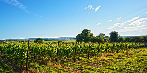 A vineyard in Sussex