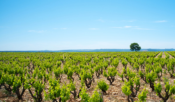 Southern Rhone vineyard