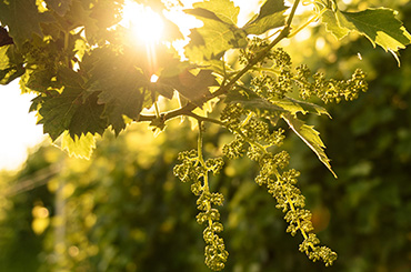 Prosecco grapes on the vine