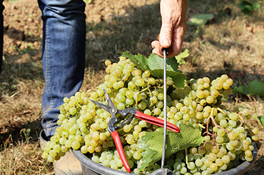 Learn more about sauvignon blanc and semillon