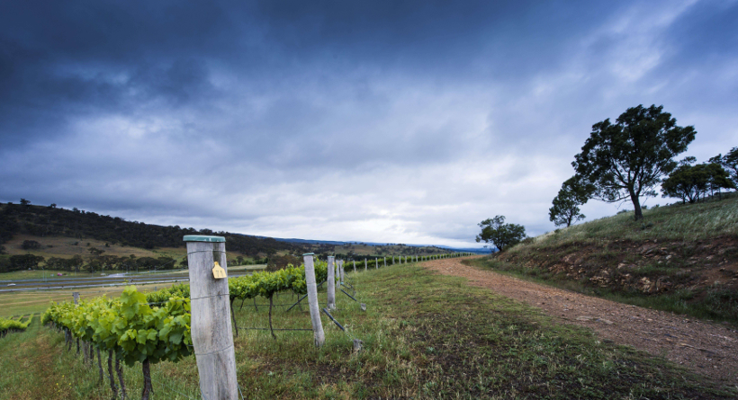 Mount Majura Vineyard Vines