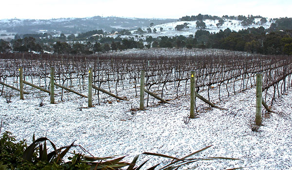 Snowy vineyard at Contentious Character