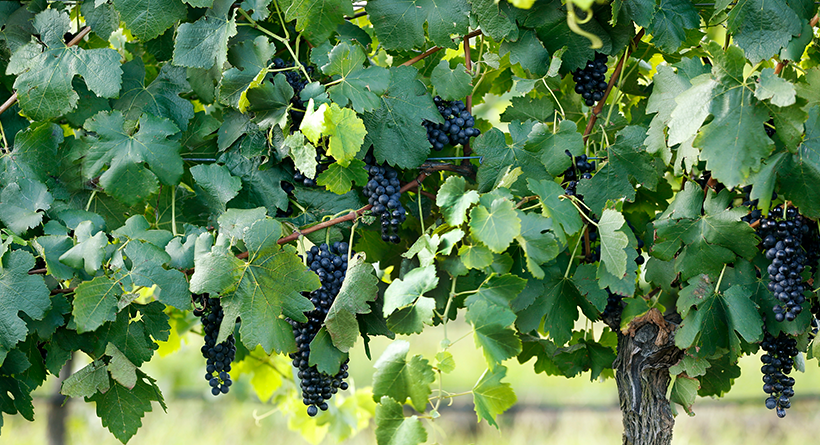 McLeish Estate vines and grapes