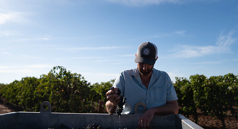 Yarran winemaker squeezing grapes