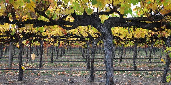 Coonawarra vineyard in autumn