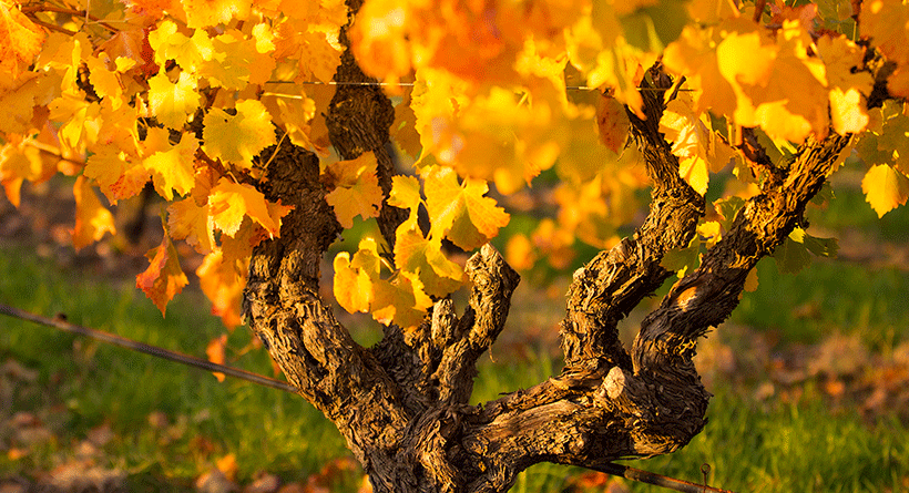 Hayes Family Wines Autumn Vines
