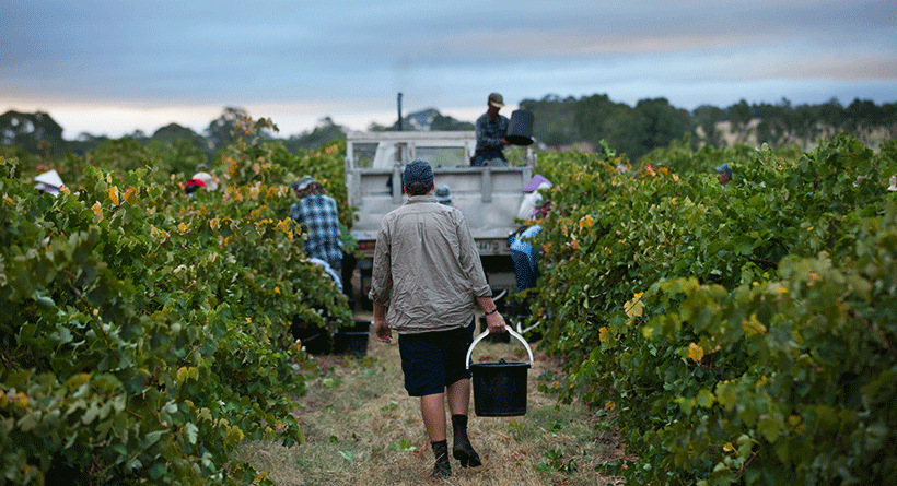 Hayes Family Wines Picking Grapes