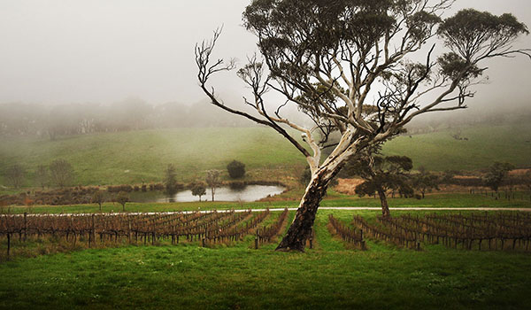 Misty Monterra vineyard