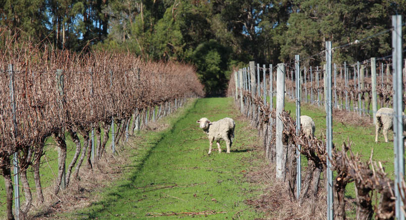 Sheep in vineyards