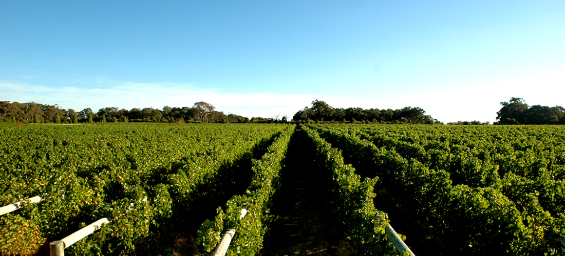 Thompson estate vineyard
